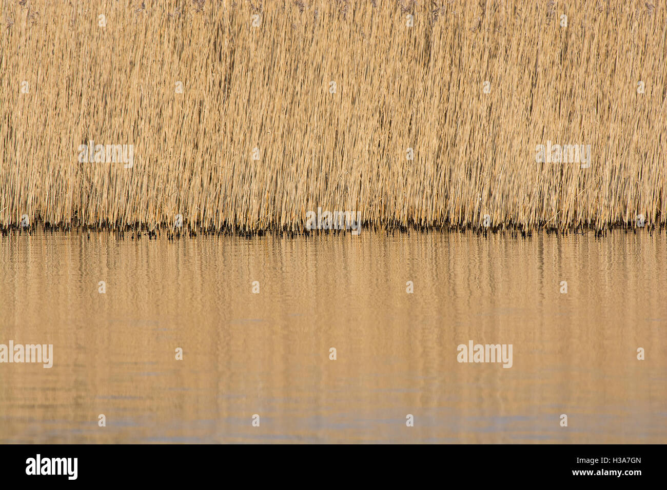 reedbed lit by evening sun reflected in lake in Lancashire, UK - Stock Image