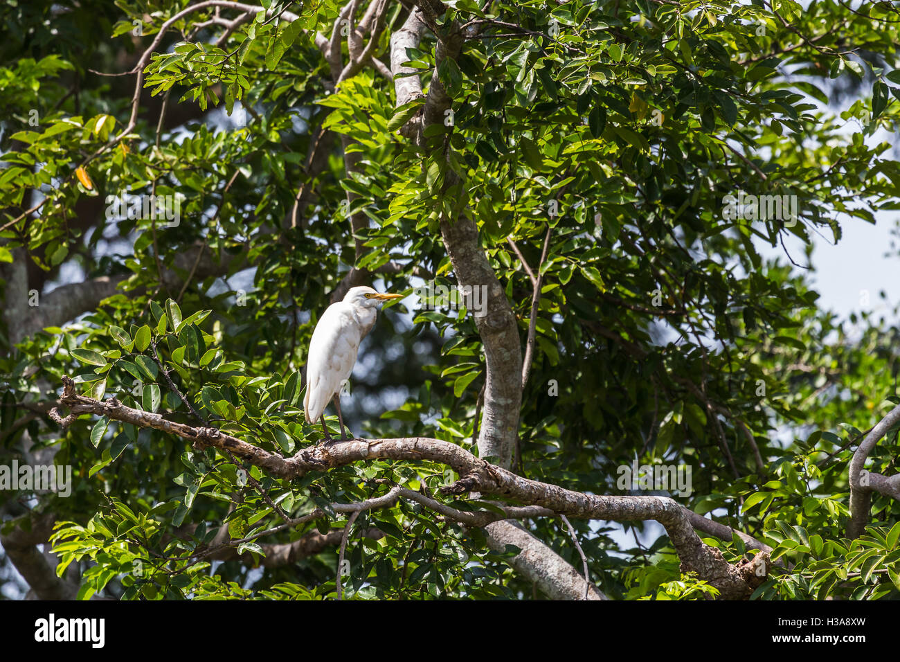 A Great egret high up in the tree tops of the Palo Verde National Park in Costa Rica. - Stock Image