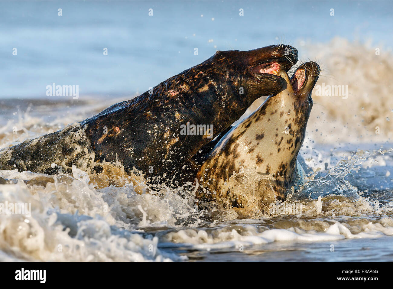 Grey seal courtship behaviour, North Sea coast, Norfolk, England - Stock Image