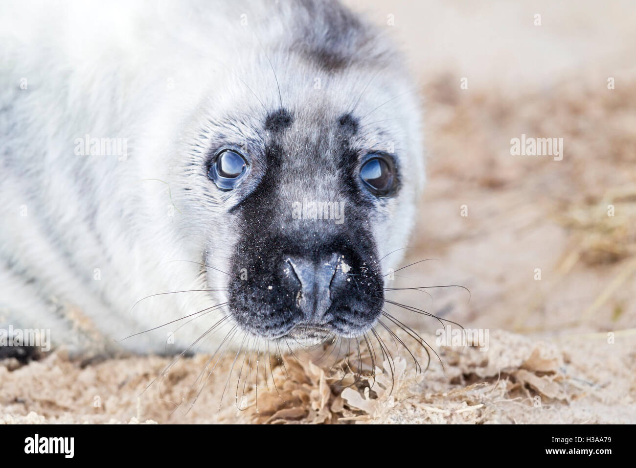 A Grey seal pup rests on a beach, North Sea coast, Norfolk, England - Stock Image