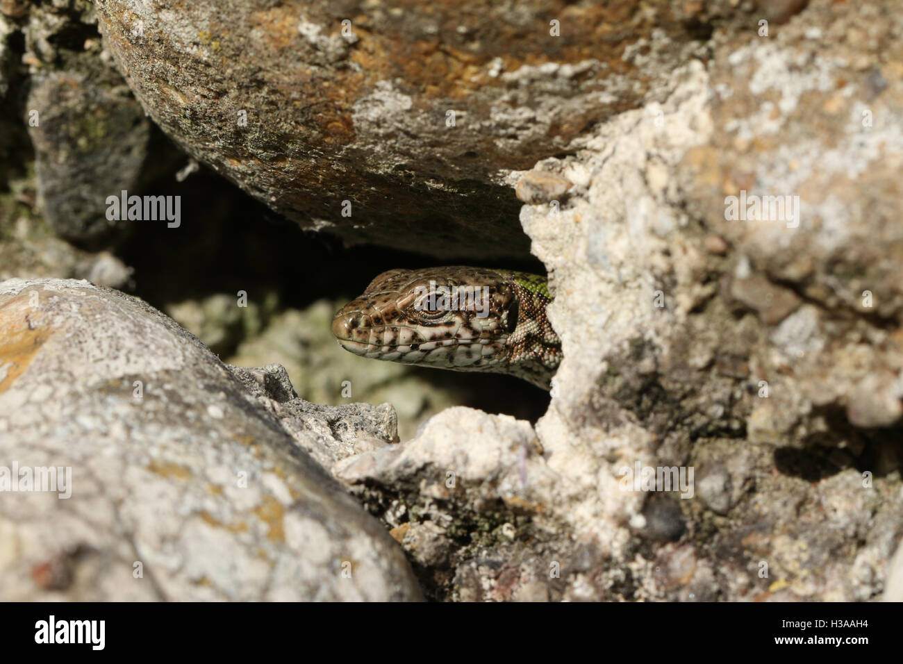 A Wall Lizard (Podarcis muralis) poking its head out of a hole in the fort wall at Shoreham-by-sea, warming in the - Stock Image