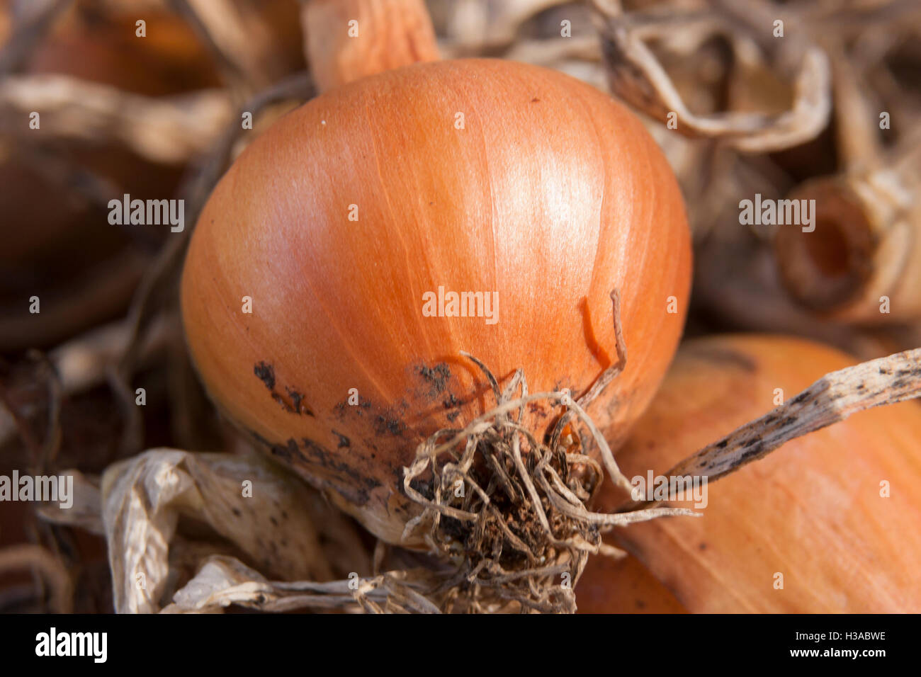 organic home grown onion vegetable closeup on bed of of withered foliage - Stock Image