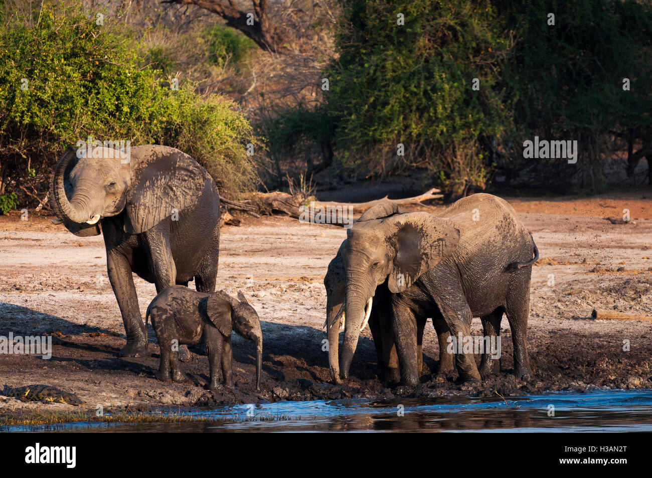 Herd of elephants drinking and playing in the mud in the Chobe River, Chobe National Park, in Botswana, Africa - Stock Image