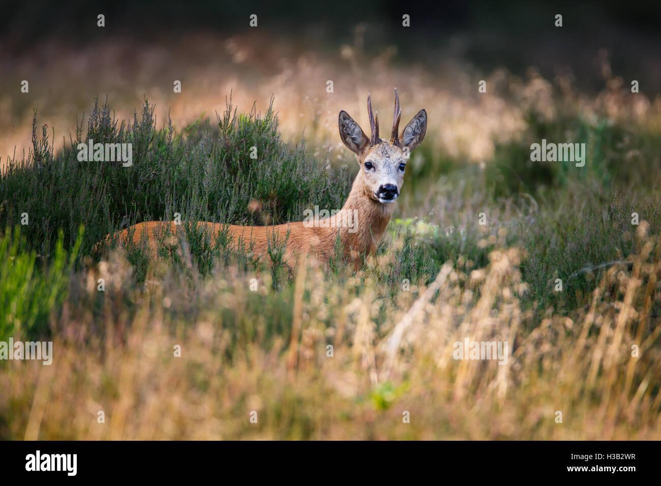 a roe deer buck - Stock Image
