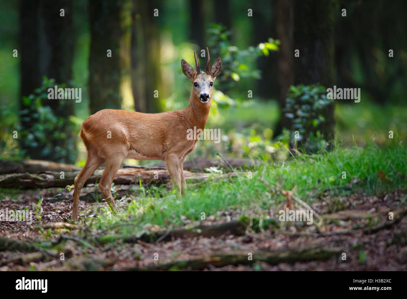 a roe deer in a forest - Stock Image
