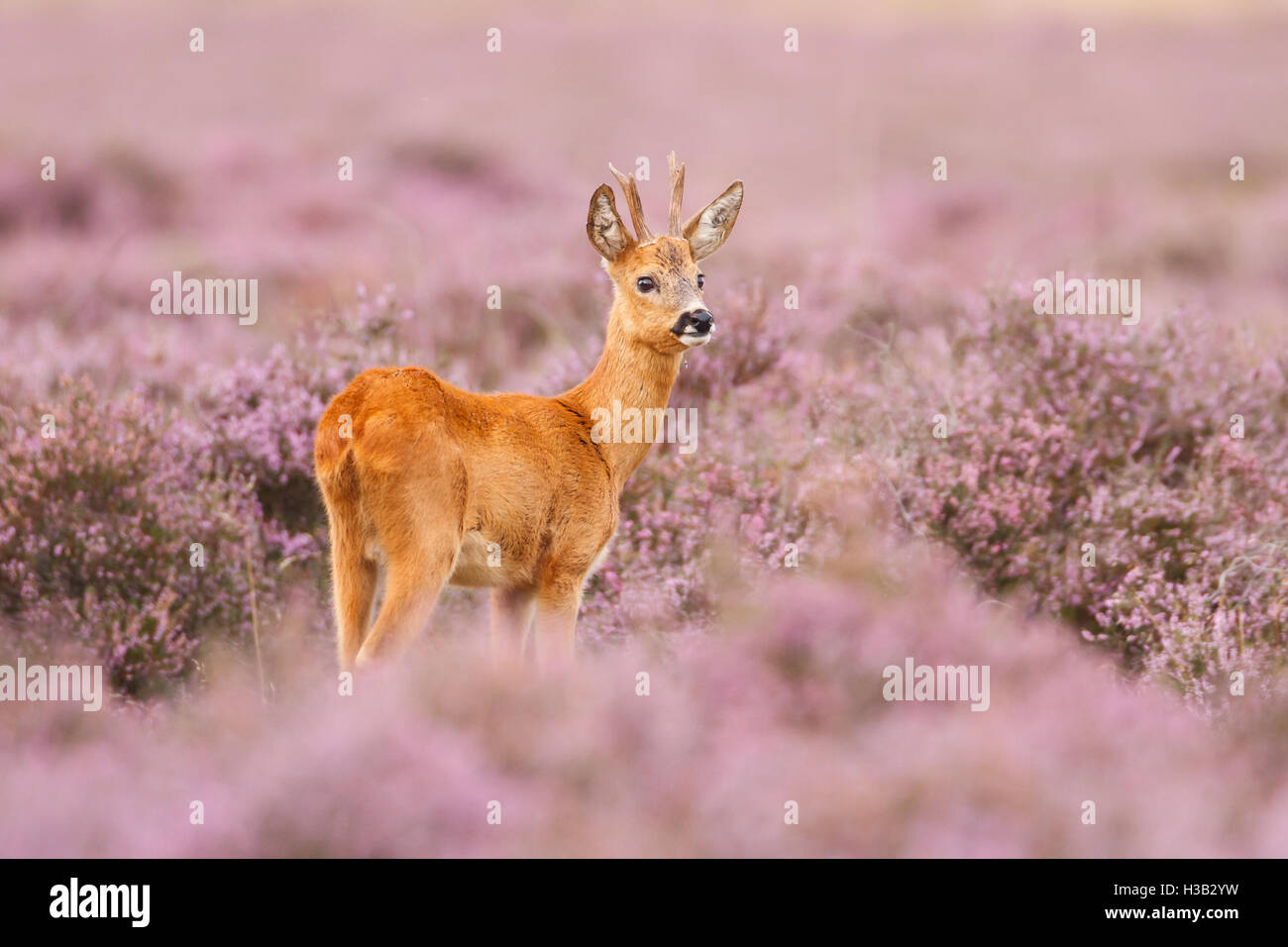 A roe deer in a field of heather - Stock Image