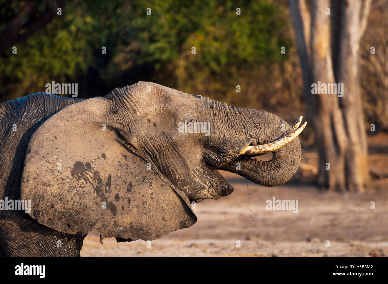 Elephant drinking water in the Chobe River, Chobe National Park, in Botswana, Africa - Stock Image