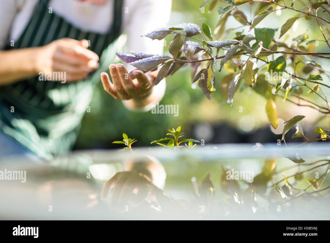 Midsection of female gardener examining plants - Stock Image