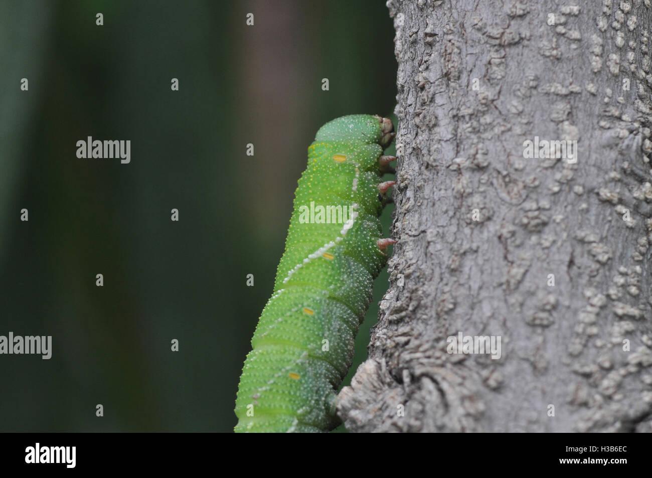 Noida, Uttar Pradesh, India- July 27, 2016: A big green caterpillar on a tree branch at Noida, Uttar Pradesh, India. - Stock Image