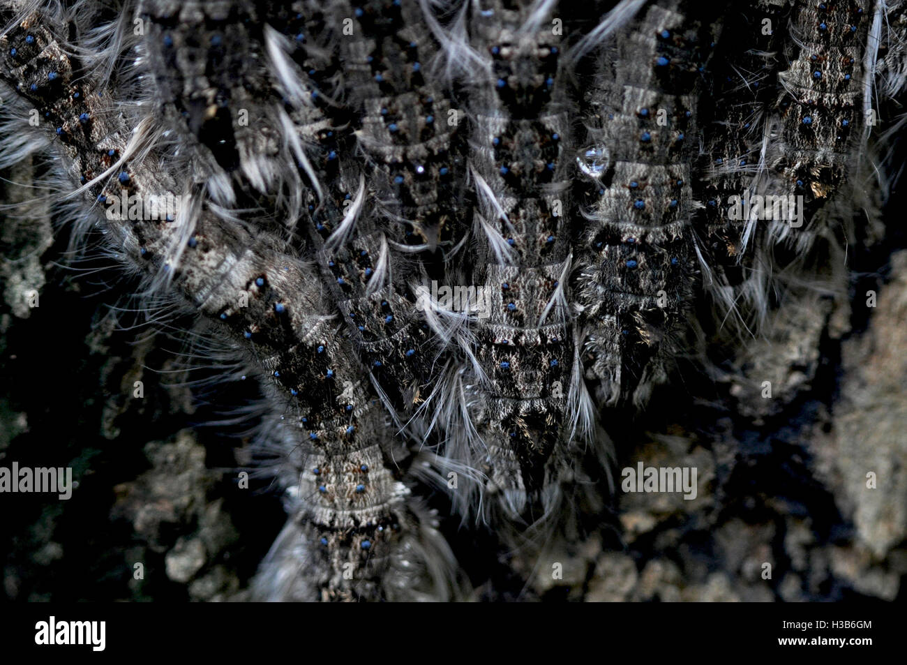 Noida, Uttar Pradesh, India- August 21, 2016: A group of hairy Caterpillars on a tree in a garden at Noida, Uttar - Stock Image