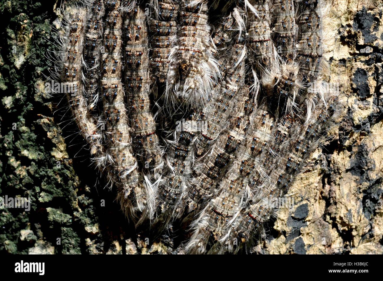 Noida, Uttar Pradesh, India- August 22, 2016: A group of hairy Caterpillars on a tree in a garden at Noida, Uttar Stock Photo