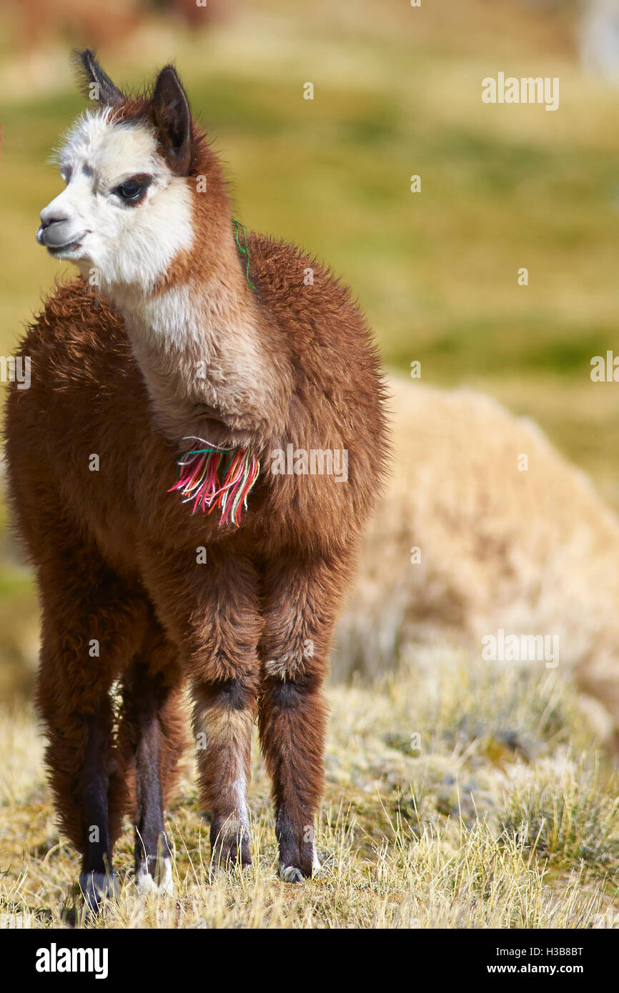 Juvenile Alpaca (Lama pacos) - Stock Image