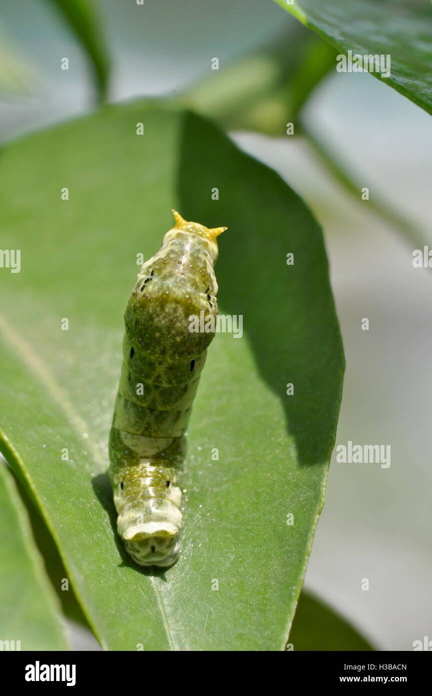 Noida, Uttar Pradesh, India- April 6, 2016: Hungry Citrus Swallowtail Butterfly caterpillar on a lemon tree leaf - Stock Image