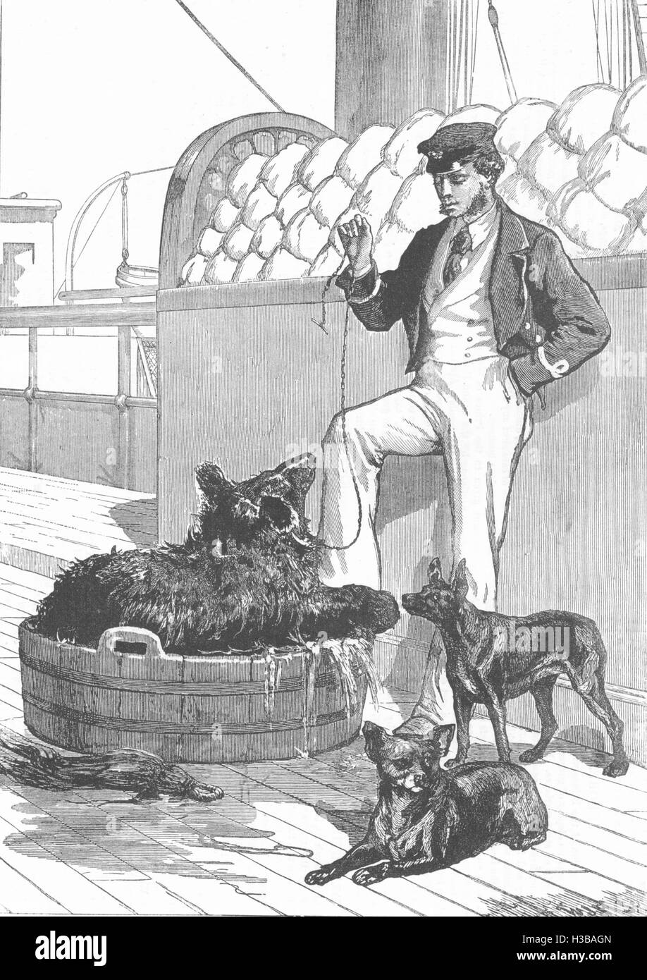 TIBET Himalayan Bear, and Tailless Dogs of Tibet 1876. The Illustrated London News - Stock Image