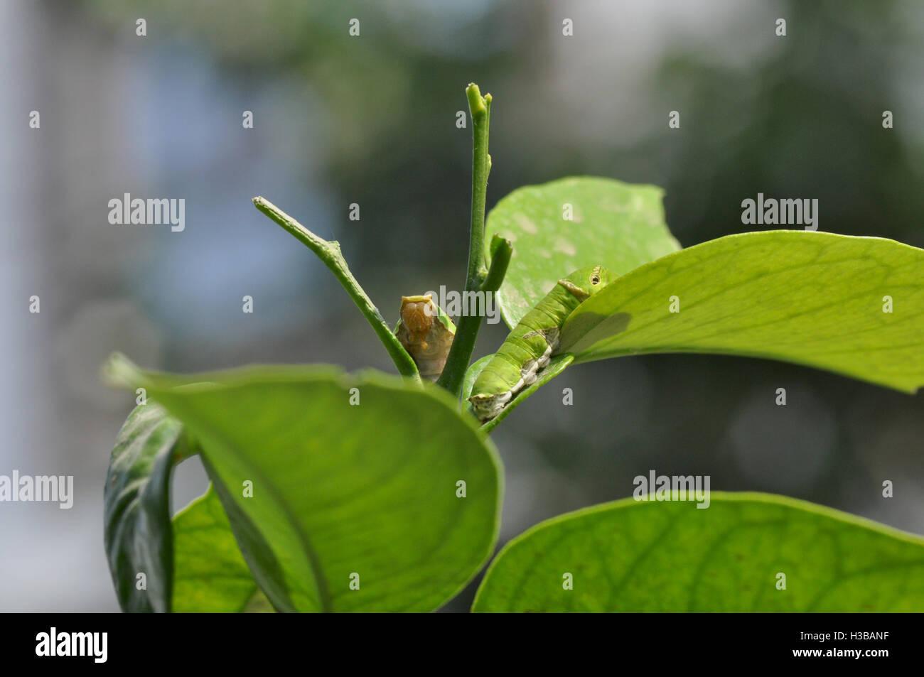 Noida, Uttar Pradesh, India-April 4, 2016: Hungry Citrus Swallowtail butterfly Caterpillars on a Lemon tree leaf - Stock Image