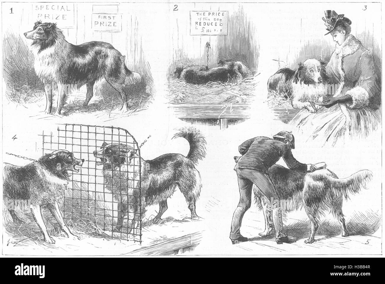 COLLIE DOG SHOW Royal Aquarium, Westminster 1888. The Graphic - Stock Image