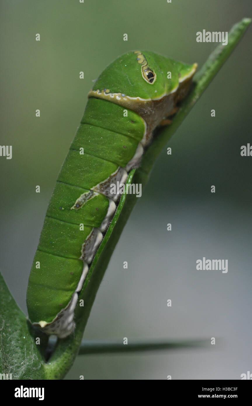 Noida, Uttar Pradesh, India- April 7, 2016: A hungry (Lime, Lemon) Swallowtail Butterfly caterpillar in a garden - Stock Image