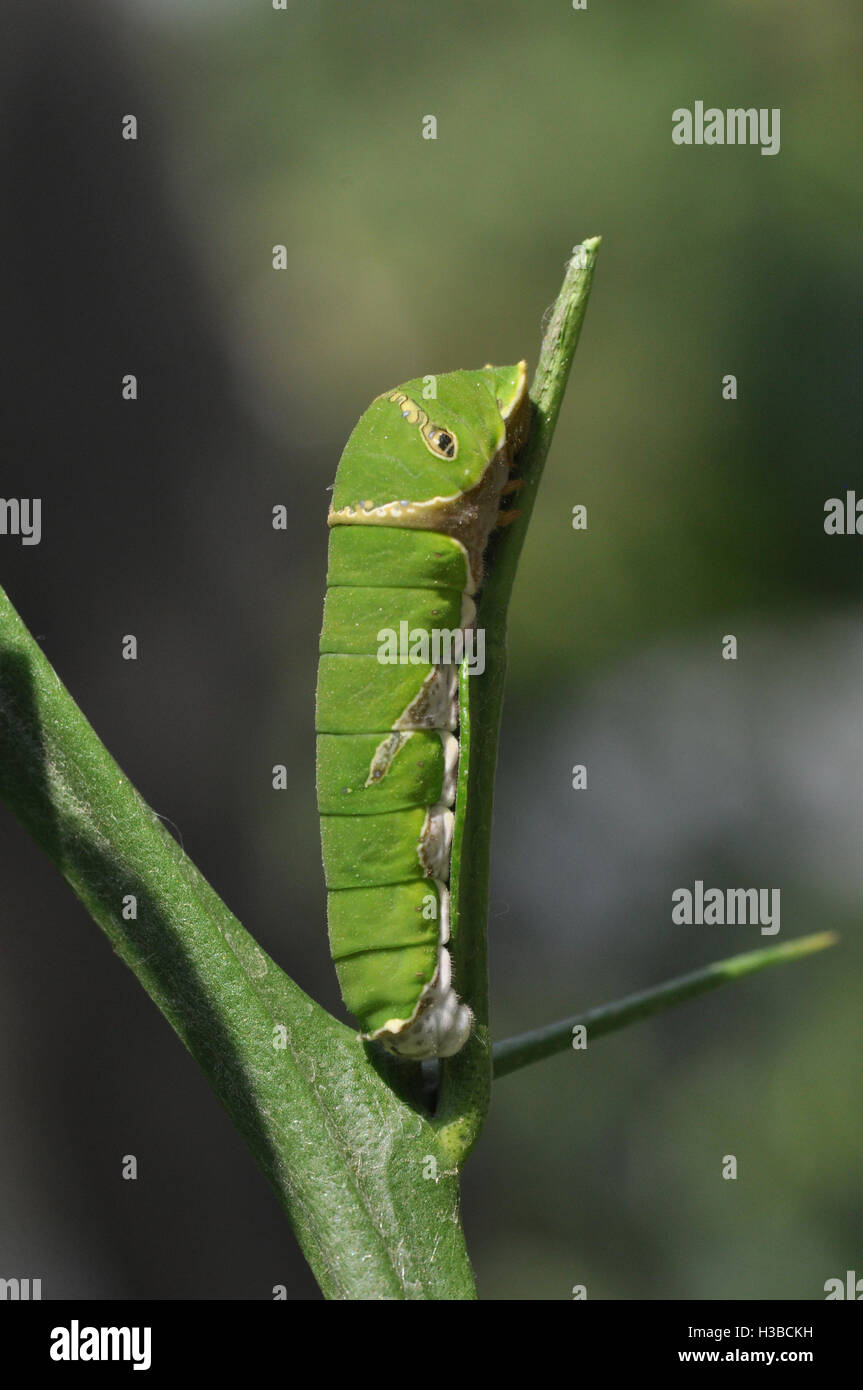 Noida, Uttar Pradesh, India- April 7, 2016: A Citrus (Lime, lemon) Swallowtail butterfly caterpillar in a garden - Stock Image