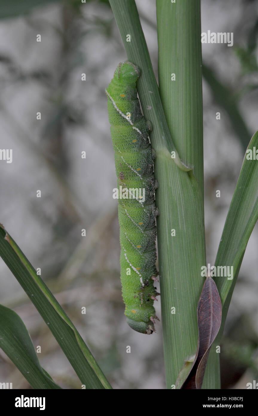 Noida, Uttar Pradesh, India- July 27, 2016: A big green caterpillar on a plant at Noida, Uttar Pradesh, India.  - Stock Image