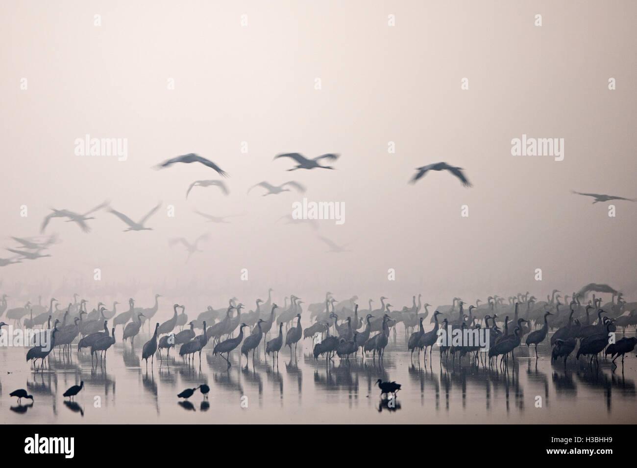 Common Cranes, at overnight roost at dawn, Grus grus, wintering at  the Hula Lake Park Israel Stock Photo