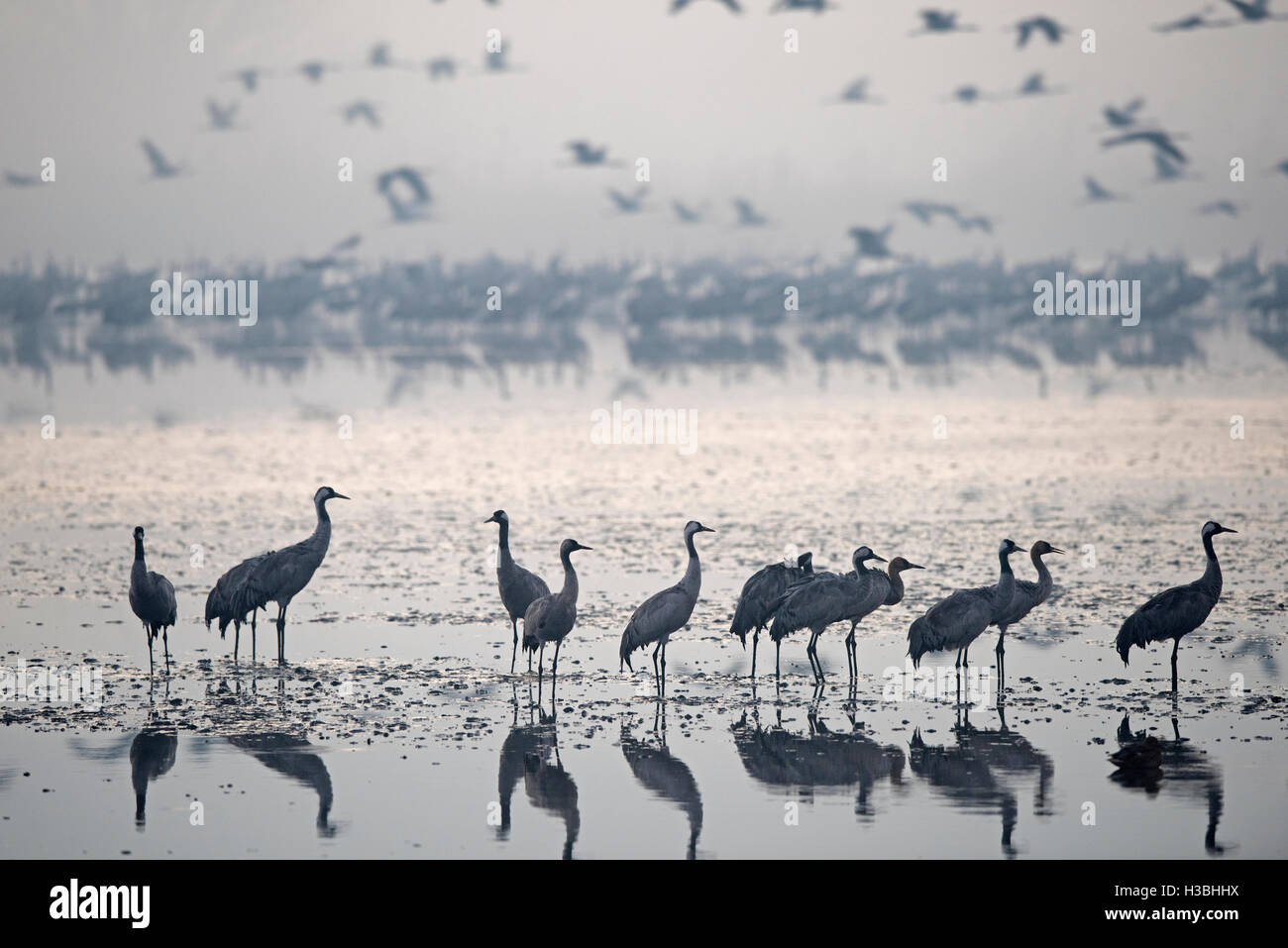 Common Cranes, at overnight roost at dawn, Grus grus, wintering at  the Hula Lake Park, known in Hebrew as Agamon Stock Photo