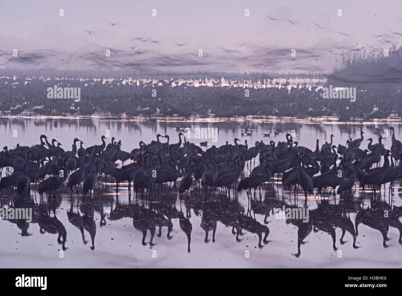 Common Cranes Grus grus, at dawn gradually leaving overnight roost on lake. Hula Israel Stock Photo