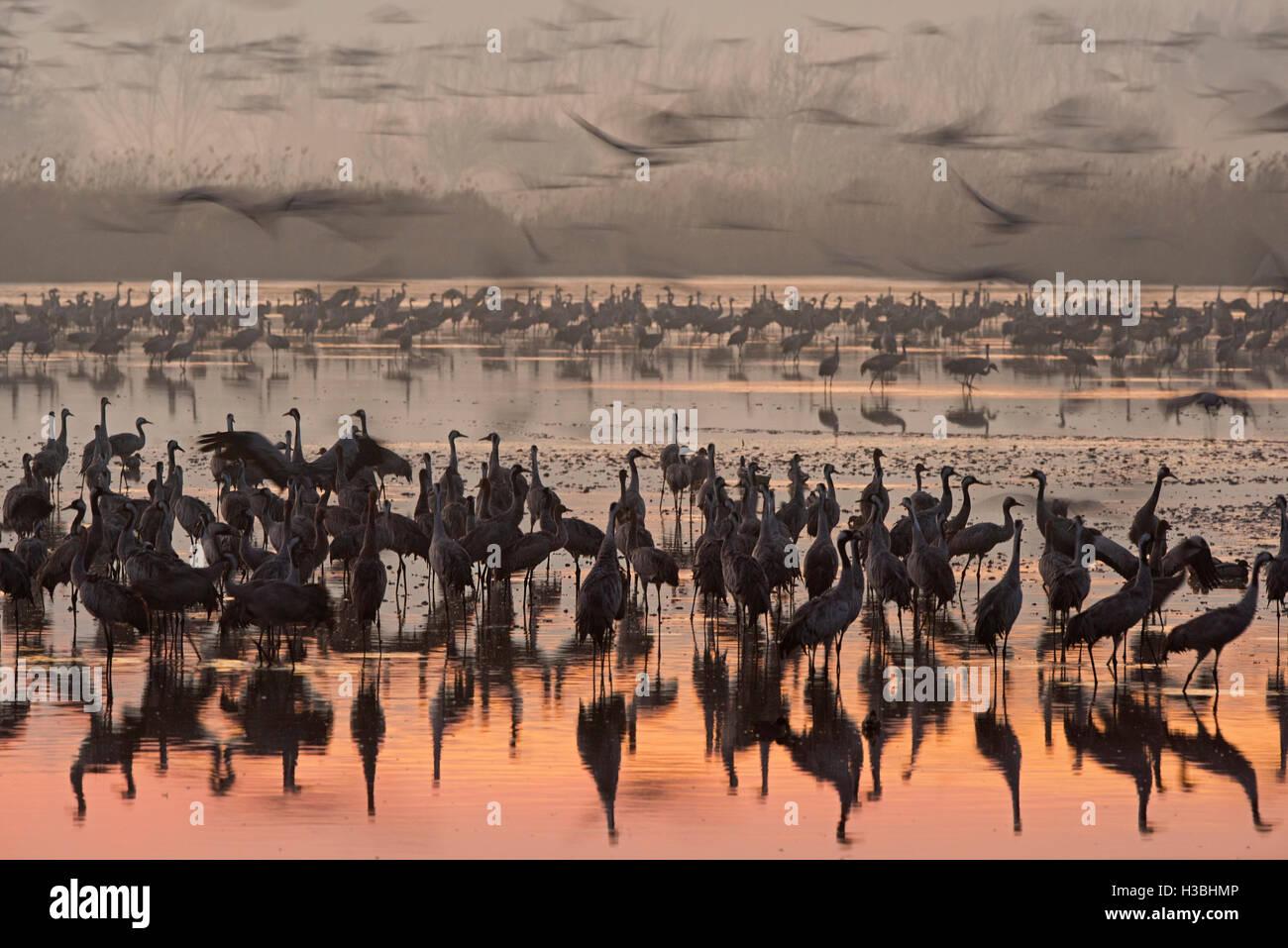 Common Cranes Grus grus, at dawn gradually leaving overnight roost on lake. Hula Israel Stock Photo