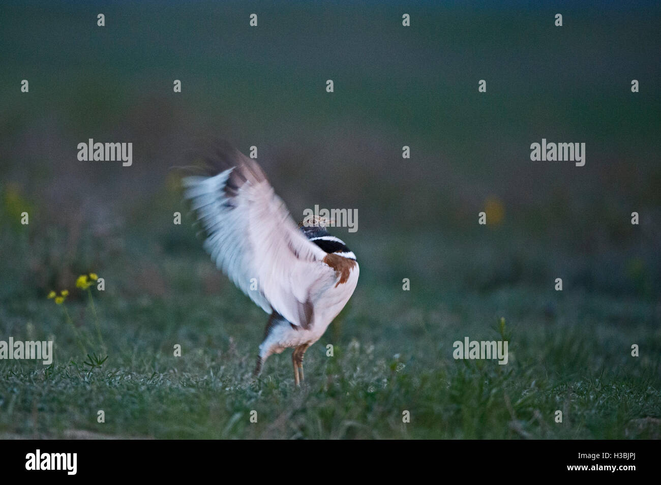 Little Bustard, Tetrax tetrax displaying at lek with wing flapping display conducted prior to dawn on Spanish steppes, - Stock Image