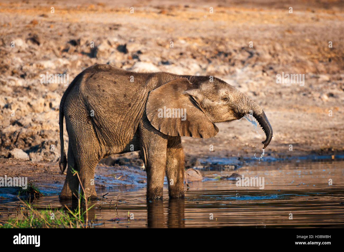 Elephant cub drinking water in the Chobe River, Chobe National Park, in Botswana, Africa - Stock Image