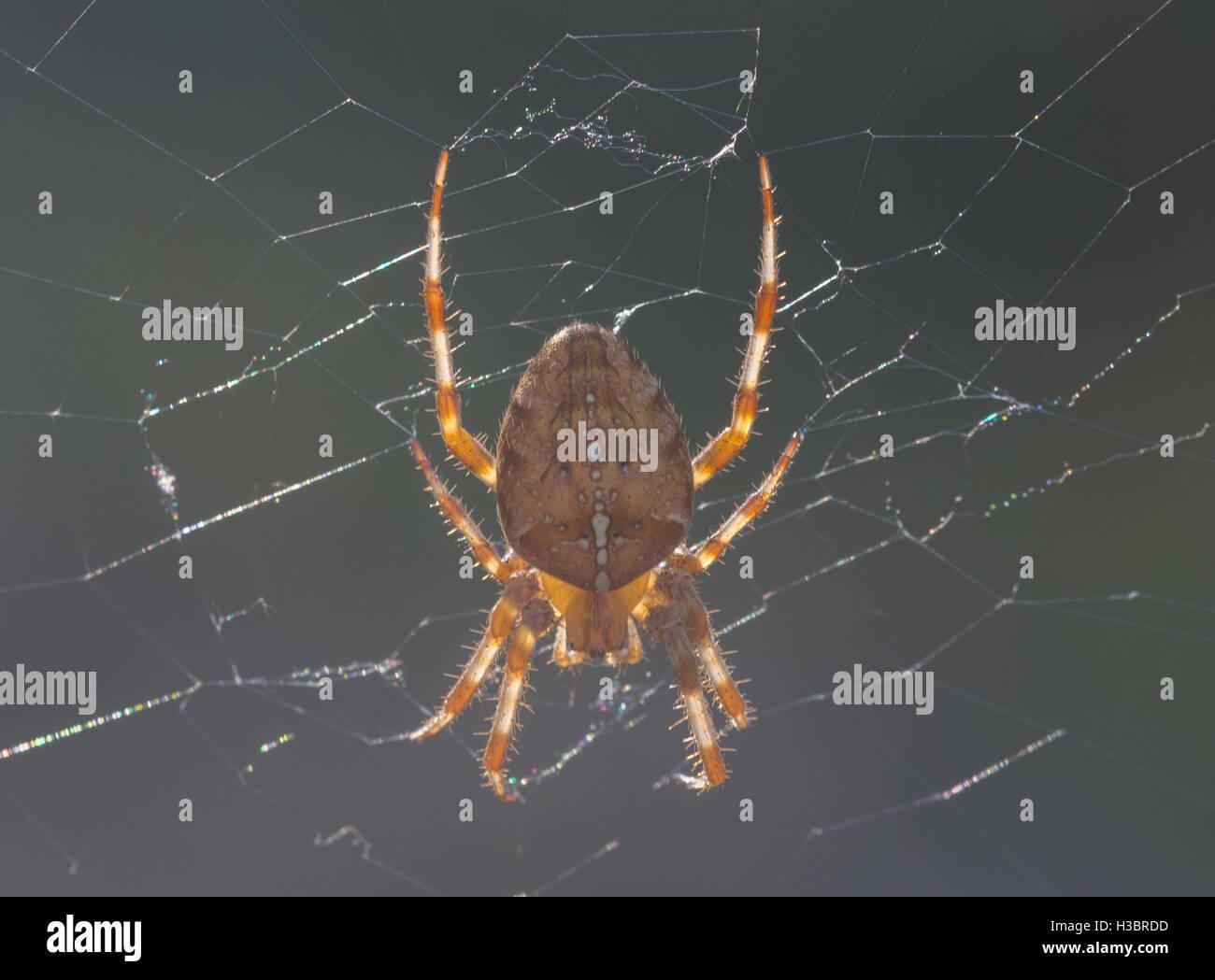 Garden spider, garden orb-weaver or cross spider (Araneus diadematus) in Surrey, England - Stock Image