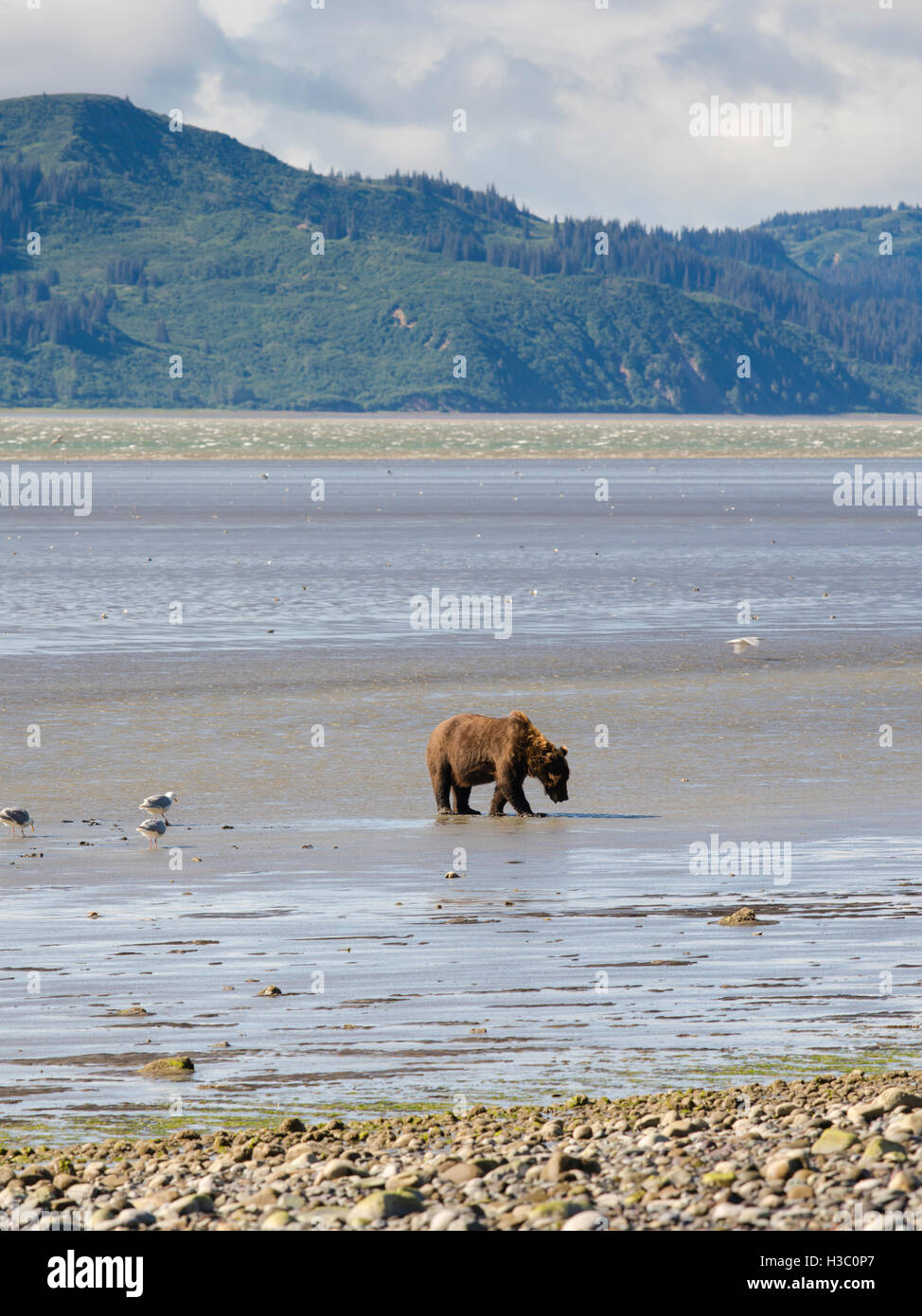 An Alaska coastal brown bear digs for clams in the tidal flat of Chinitna Bay, Lake Clark National Park, Alaska. Stock Photo