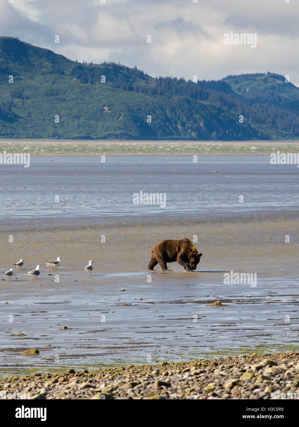 An Alaska coastal brown bear digs for clams in the tidal flat of Chinitna Bay, Lake Clark National Park, Alaska. - Stock Image