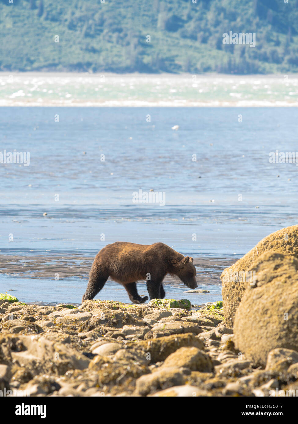 An Alaska coastal brown bear walks across the rocks on the shore of Chinitna Bay, Lake Clark National Park, Alaska. - Stock Image