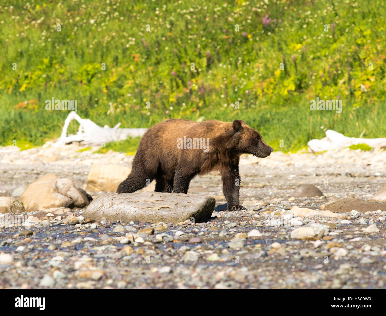 Grizzly bear walking - photo#53