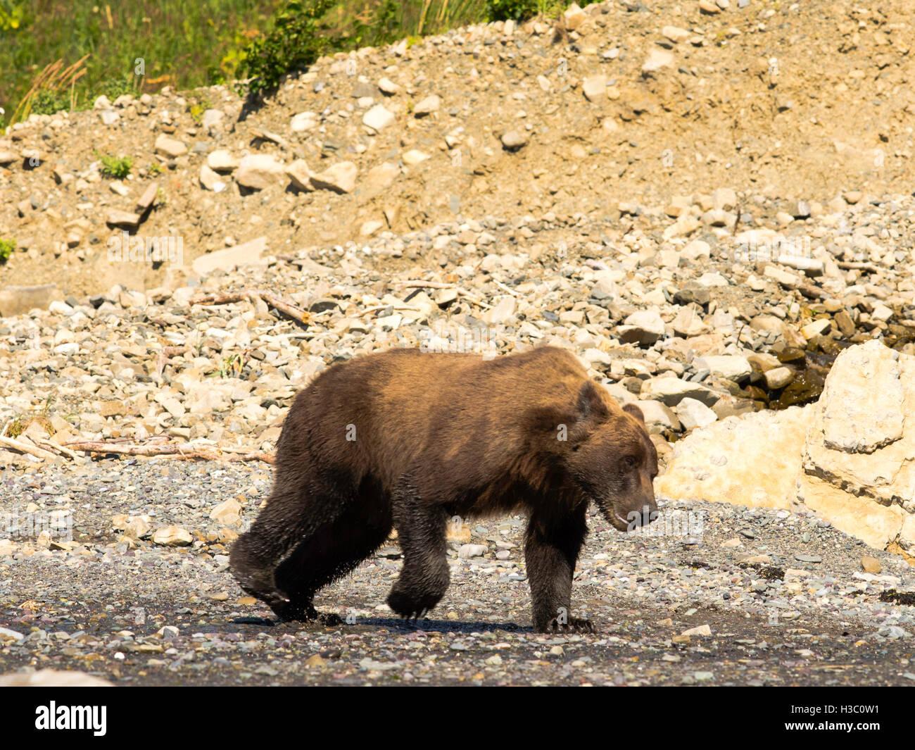 An Alaska coastal brown bear runs across the rocks on the shore of Chinitna Bay, Lake Clark National Park, Alaska. - Stock Image