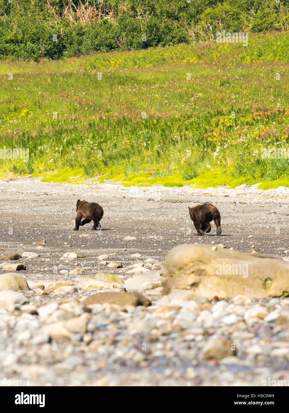 A pair of Alaska coastal brown bears run down the shore of Chinitna Bay, Lake Clark National Park, Alaska. - Stock Image