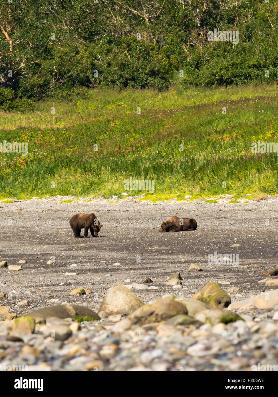 A pair of Alaska coastal brown bears check each other out along the shore of Chinitna Bay, Lake Clark National Park, Stock Photo