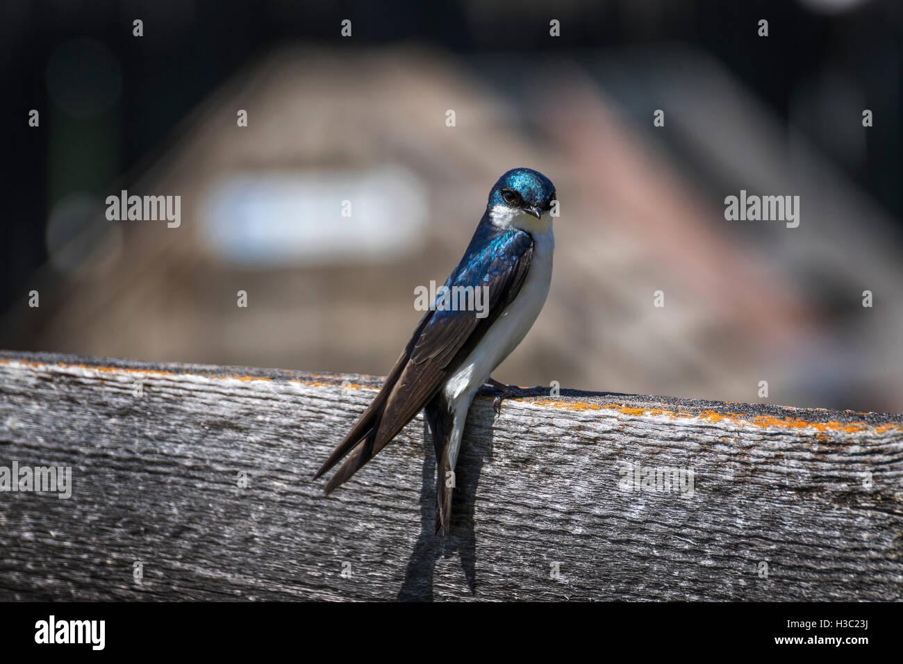 Little tree swallow - Stock Image