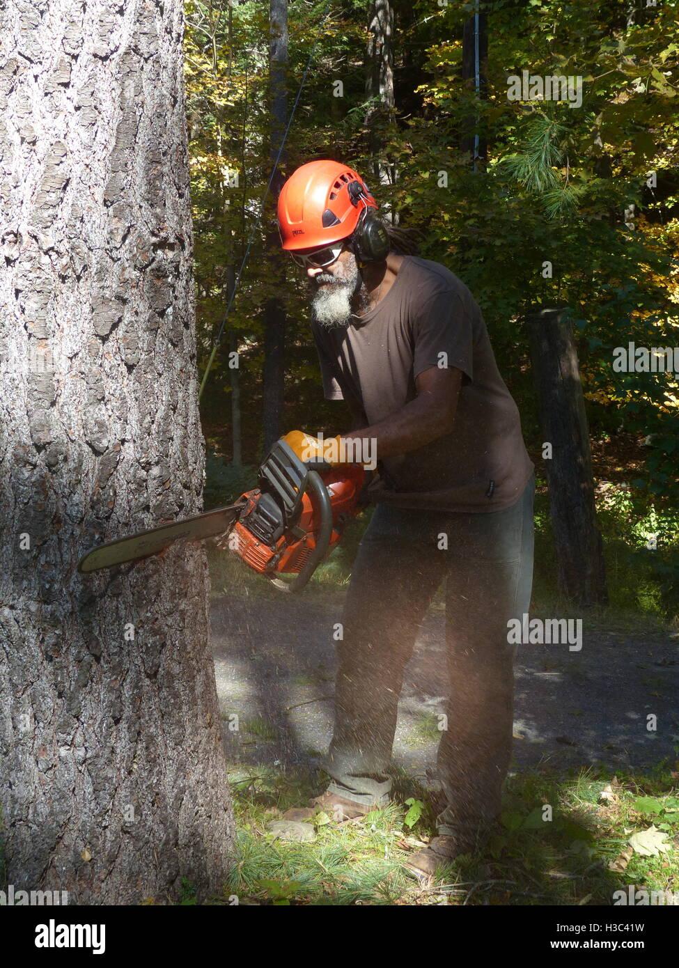 Lumberjack cutting down pine tree with Husqvarna chain saw - Stock Image