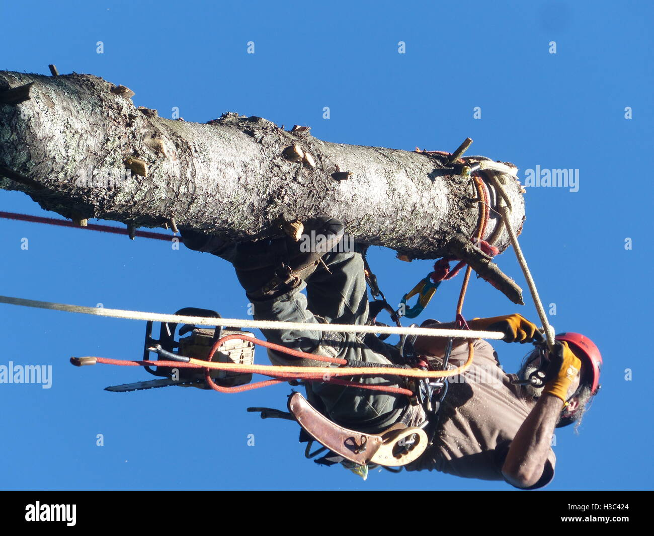 Tree surgeon climbed to the top of pine tree to take it down piece by piece - Stock Image