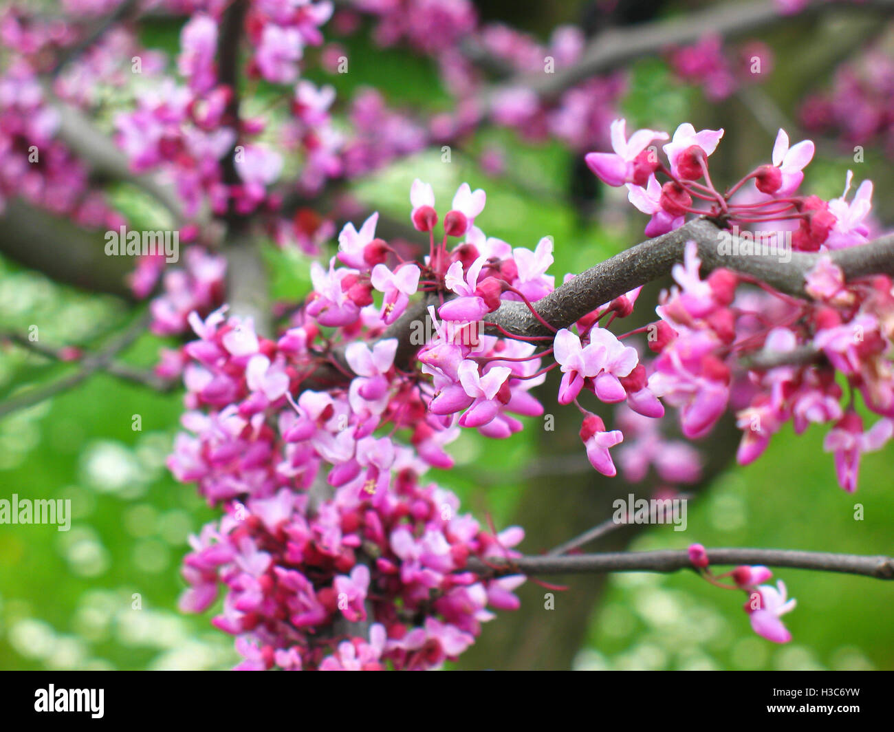 lilac flower with blurred foreground and background,spring - Stock Image