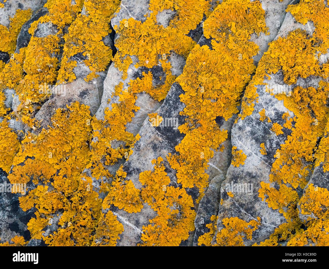 Yellow Xanthoria lichen on coastal seashore rocks, Scotland, UK. - Stock Image