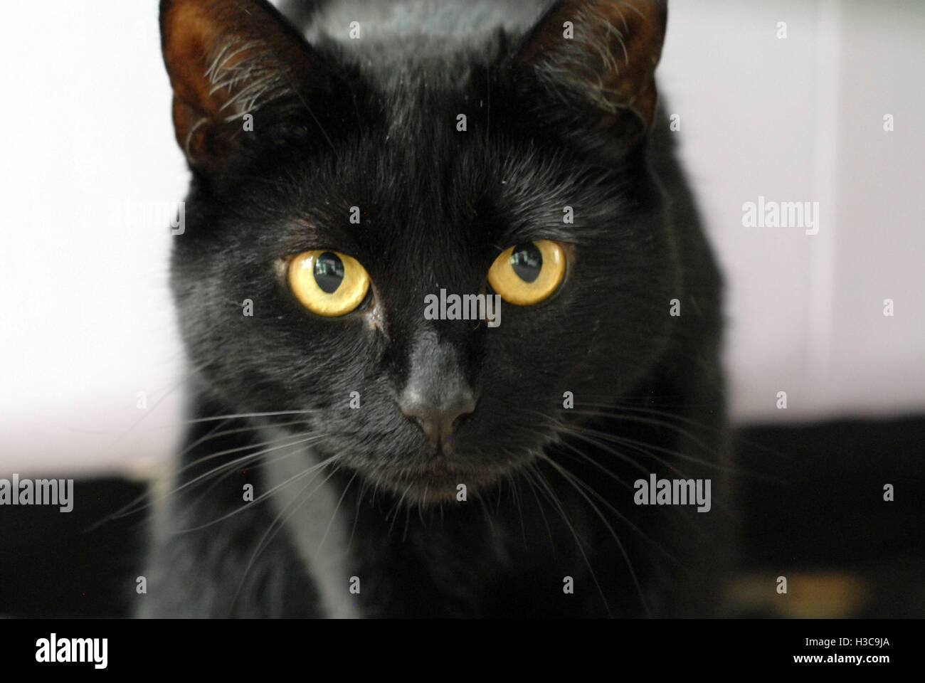 Black cat with yellow eyes, head closeup - Stock Image