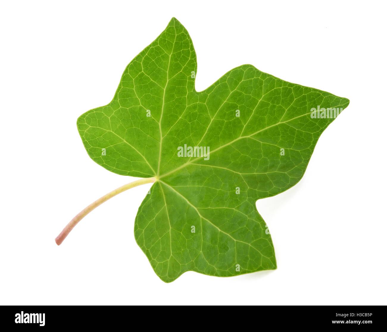 Ivy leaf isolated  on white background - Stock Image