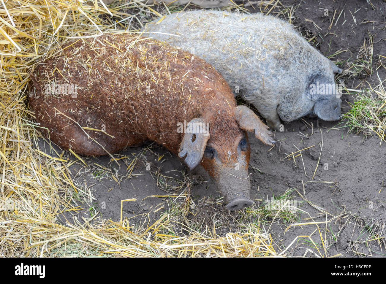 Two pigs sitting in the black earth and hay - Stock Image