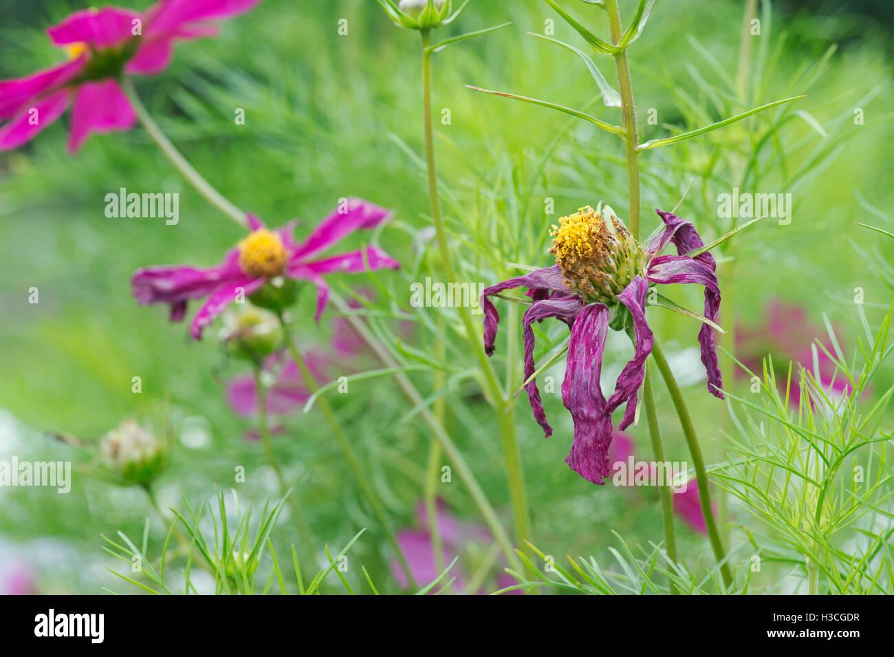 Spent Cosmos bipinnatus flower - Stock Image