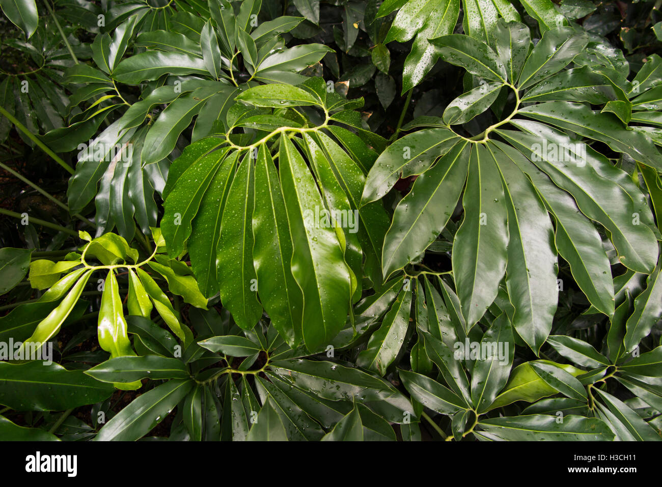 Waxy Leaves Stock Photos Waxy Leaves Stock Images Alamy