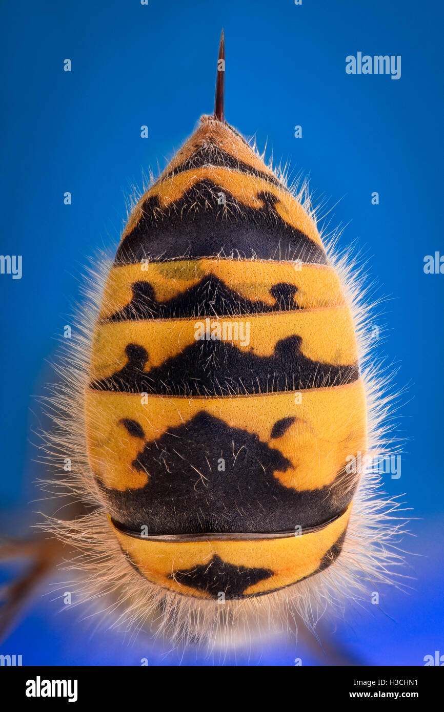 Extreme magnification - Wasp body with stinger - Stock Image
