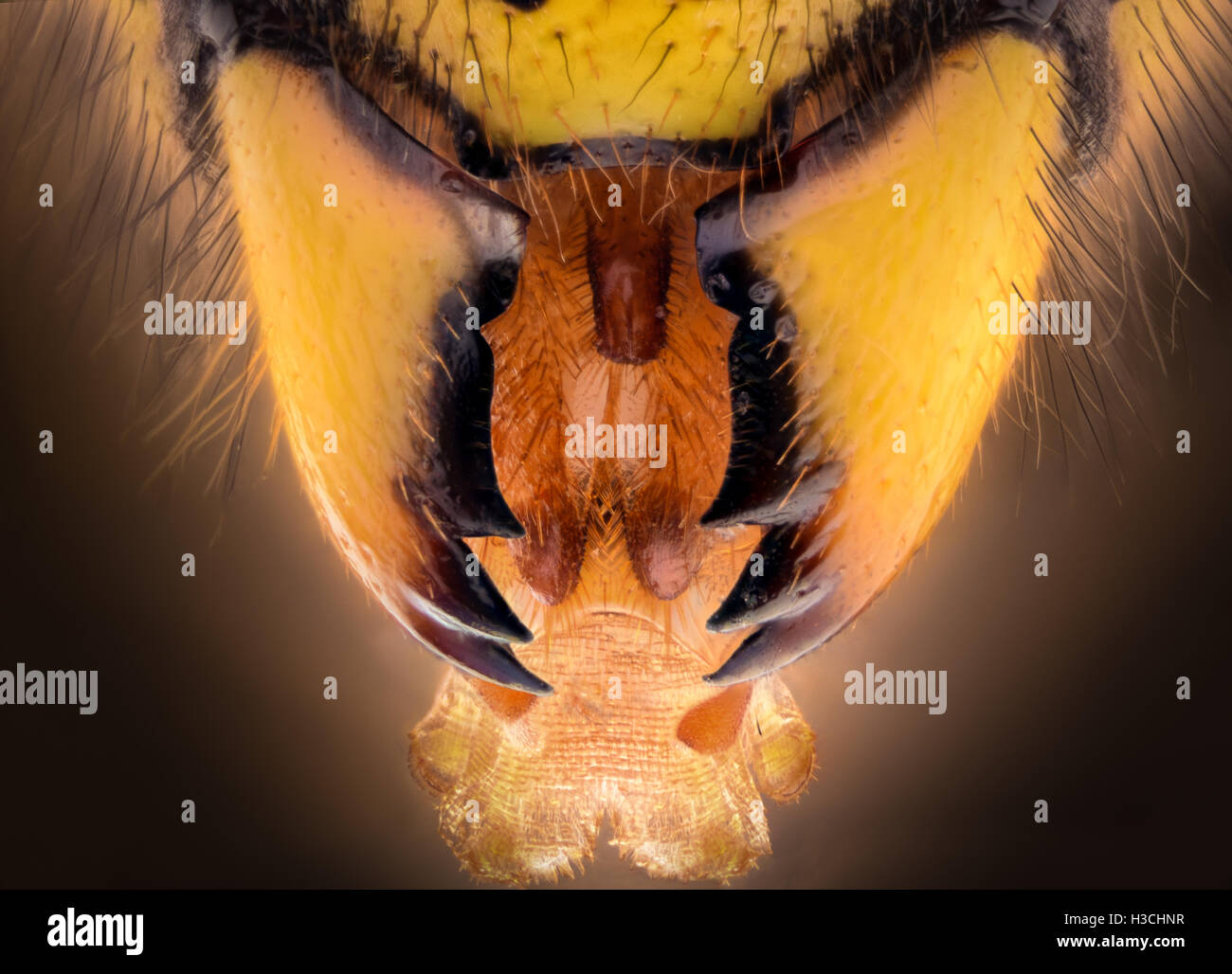 Extreme magnification - Wasp jaws - Stock Image