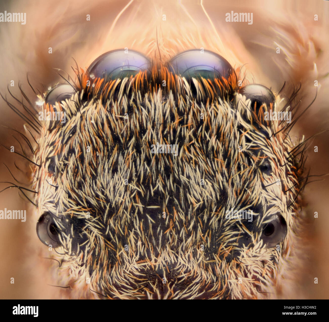 Extreme magnification - Jumping spider eyes and head from above - Stock Image